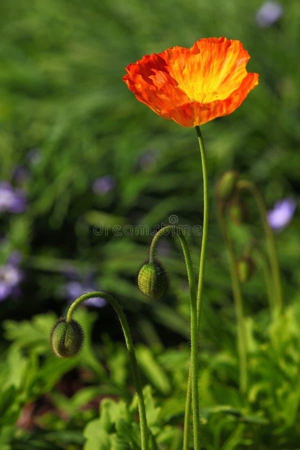 Golden poppy flower in garden royalty free stock image