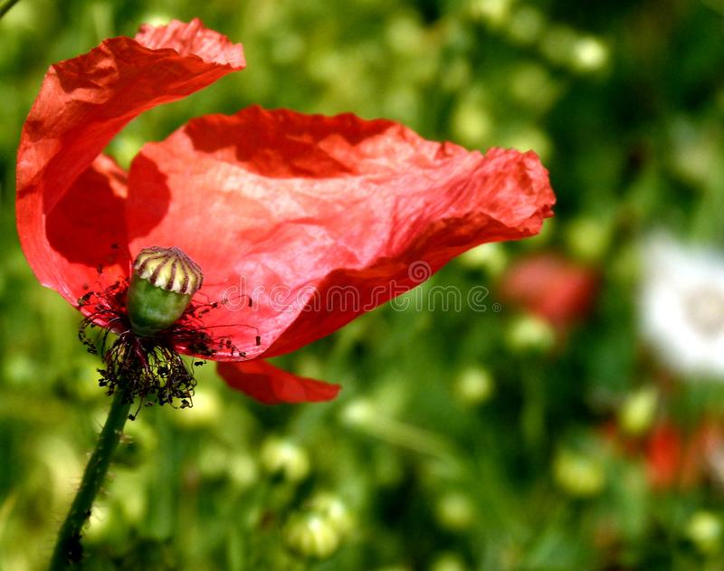 Remains of a poppy flower with well-visible capsule fruit. Poppy flower with partly missing petals in the wind, Remains of a poppy flower with blurred Background stock photo