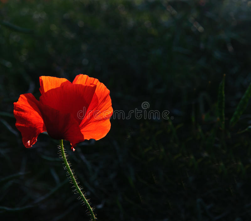 Download Poppy Flower Portrait In Summer Stock Photo - Image: 25611868