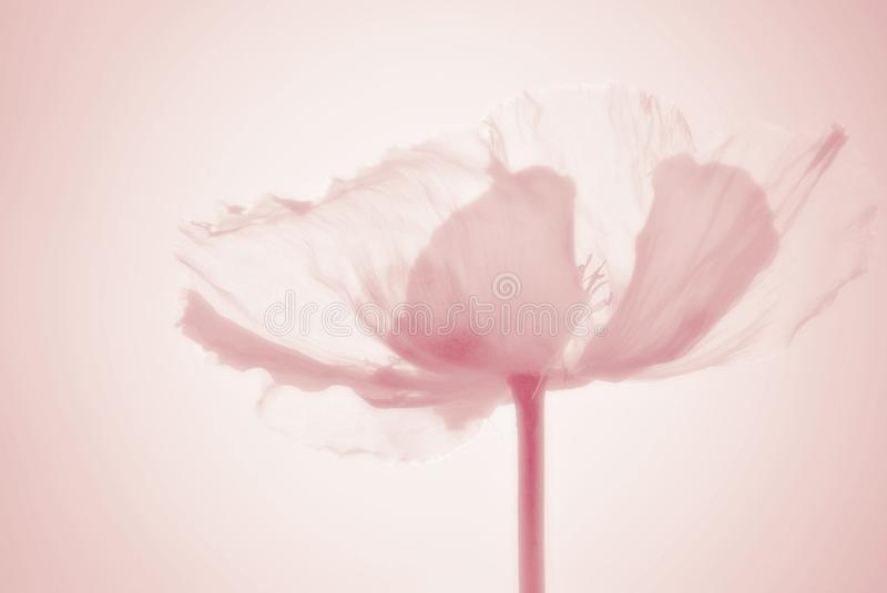 Ethereal poppy flower silhouette in pastel colors stock photos