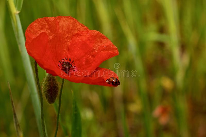 Red Poppy flower in a green meadow stock photography