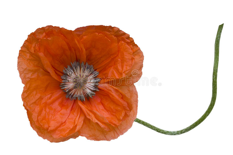 Poppy flower on the stalk. Single red poppy flower on the stalk isolated on a white background royalty free stock photos
