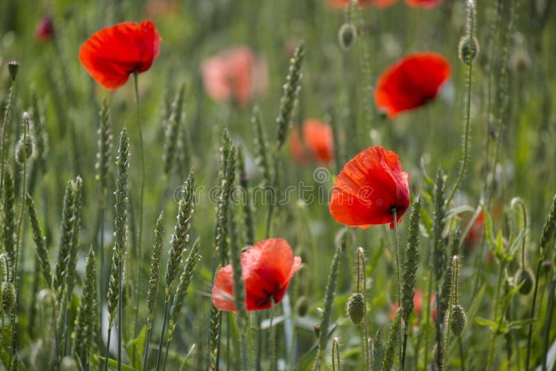 Poppy Flower On Summer Meadow imagem de stock