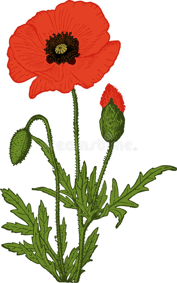 Red Poppy flower. Vector royalty free illustration