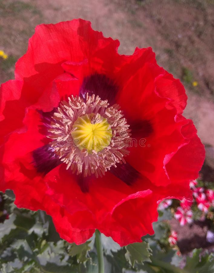 POPPY FLOWER. Poppy view flower, islamabad pakistan 25-03-2019 stock photography