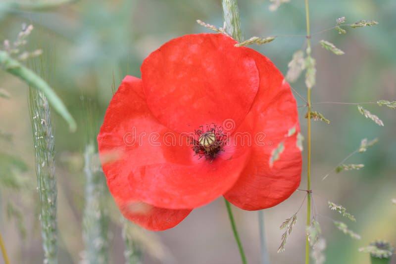 Poppy Flower wallpaper royalty free stock photography