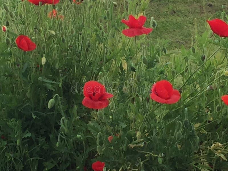 Poppy Flowers stockfotografie