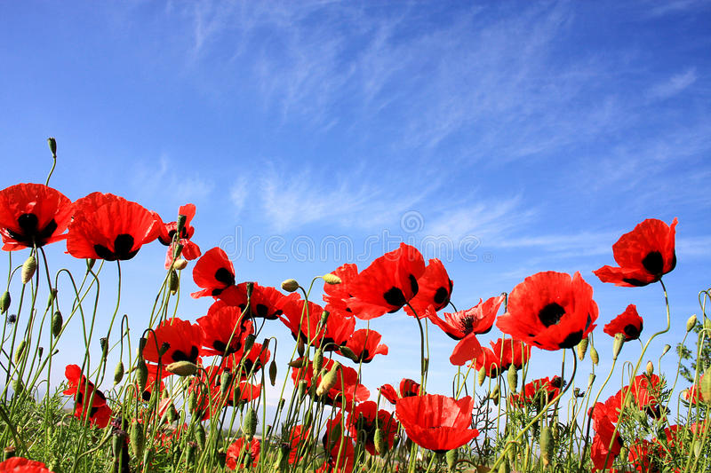Download Poppy flowers stock image. Image of flowers, glowing - 14397419