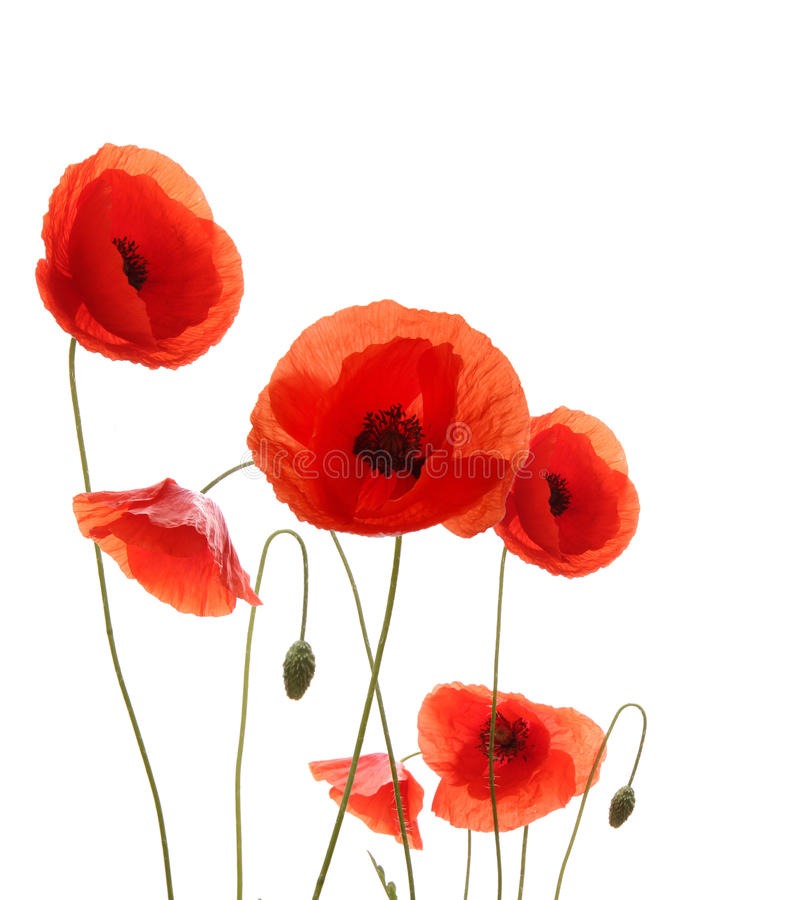 Poppy flowers stock image
