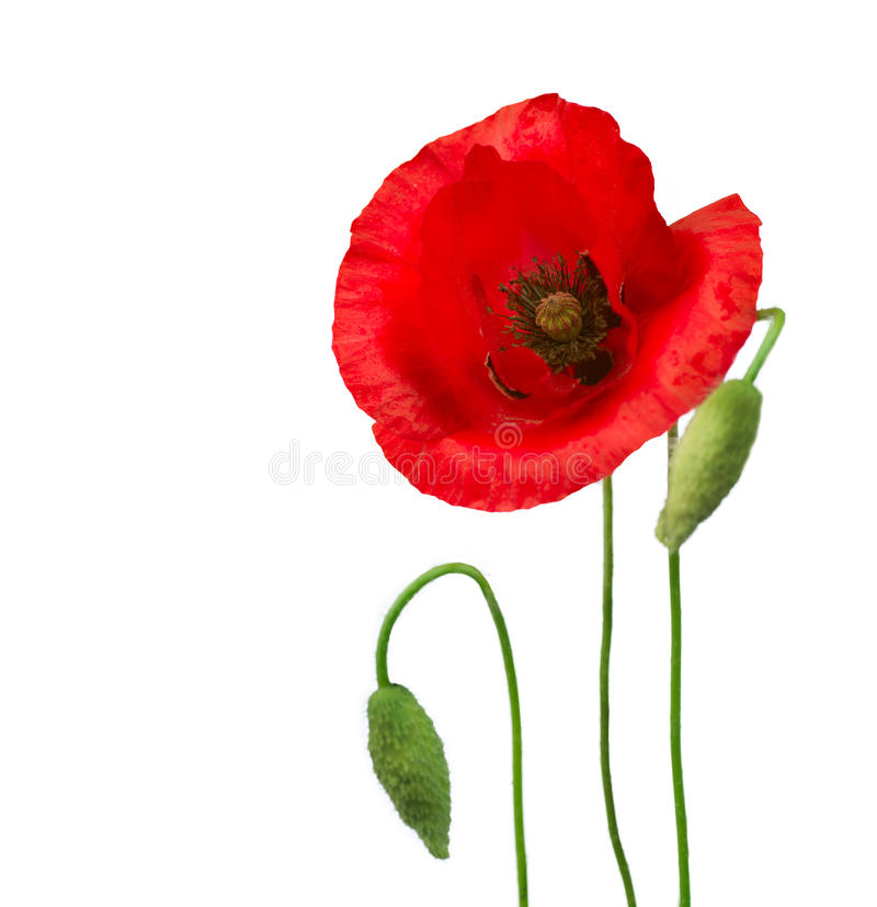Poppy flowers stock image image of beauty fragility 25109645 download poppy flowers stock image image of beauty fragility 25109645 mightylinksfo Image collections