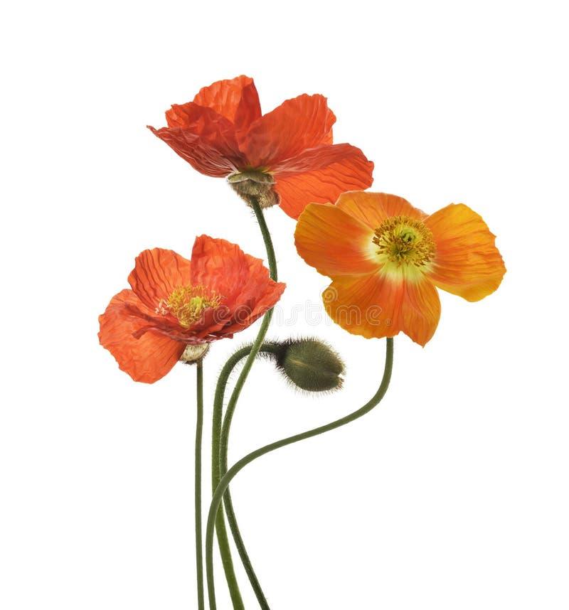 Poppy Flowers images stock