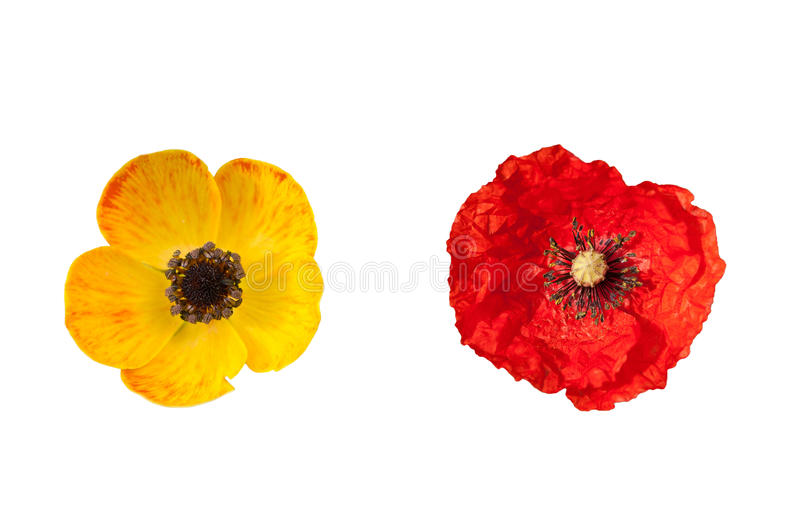 Poppy Flowers photo stock