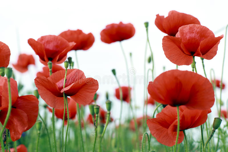 Poppy Flowers royalty-vrije stock fotografie