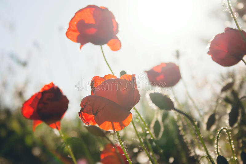 Poppy Flowers fotografie stock