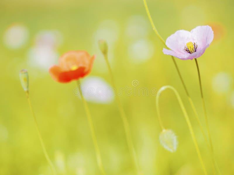 Poppy Flowers foto de stock