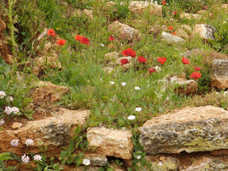 Poppy Flowers foto de archivo