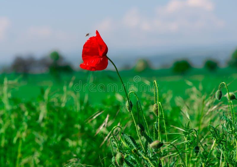 Poppy Flowers imagem de stock royalty free