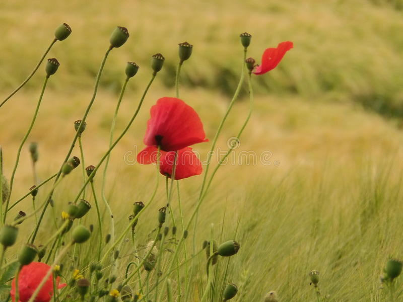 Poppy Flowers stock foto's