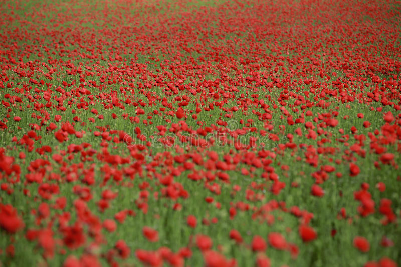Poppy Flowers royalty-vrije stock foto