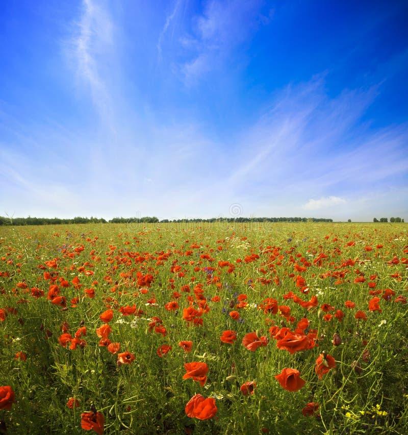 Poppy Flowers royalty-vrije stock foto's
