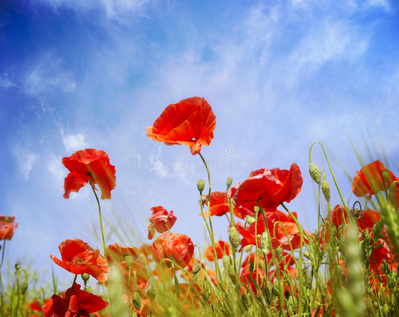 Poppy Flowers royalty-vrije stock afbeeldingen