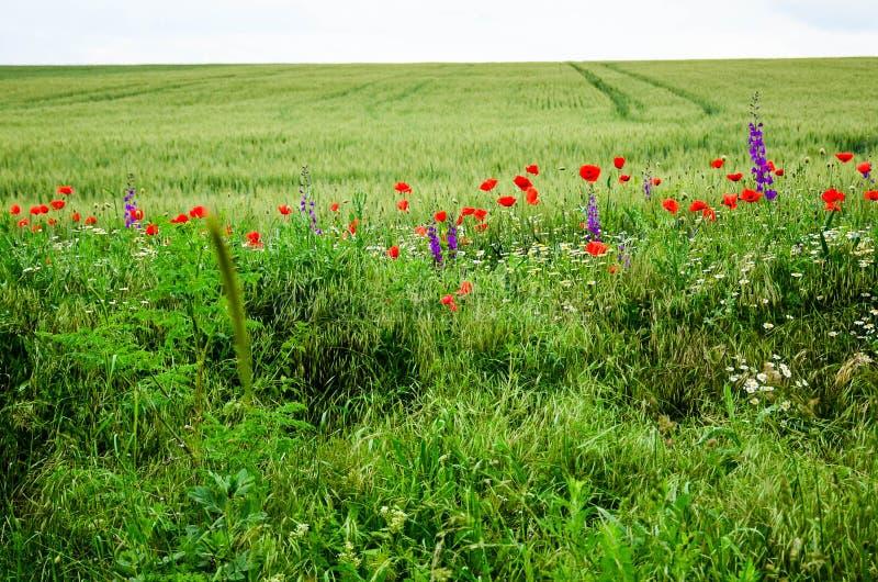 Poppy Flowers immagine stock libera da diritti