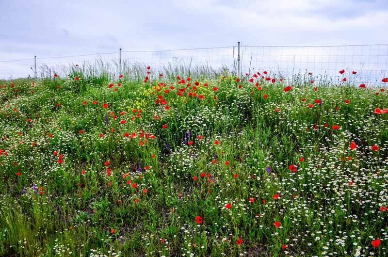 Poppy Flowers immagini stock