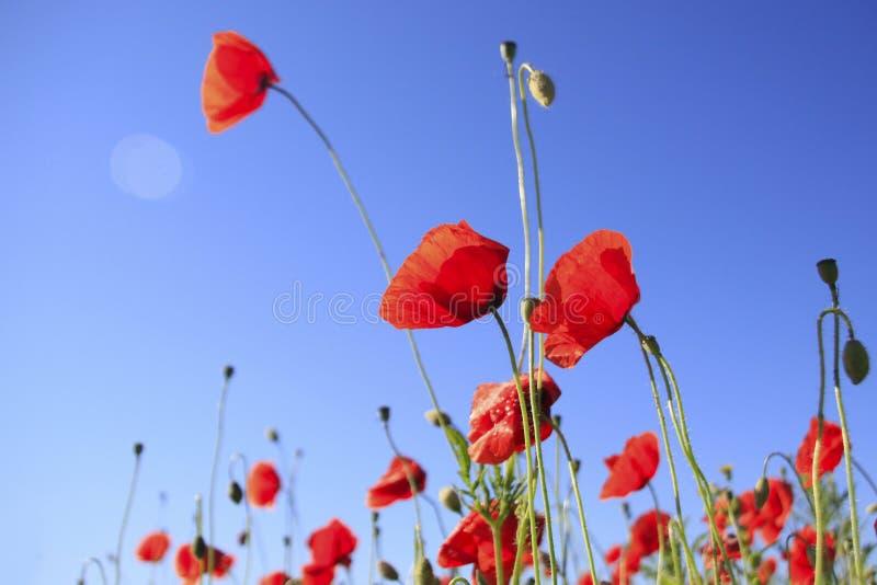 Poppy flowers against blue sky stock photo