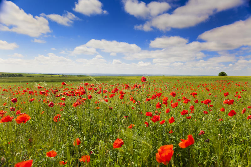 Poppy flowers against the blue sky / summer meadow. Poppy flowers against the blue sky / flower meadow / Summer stock image