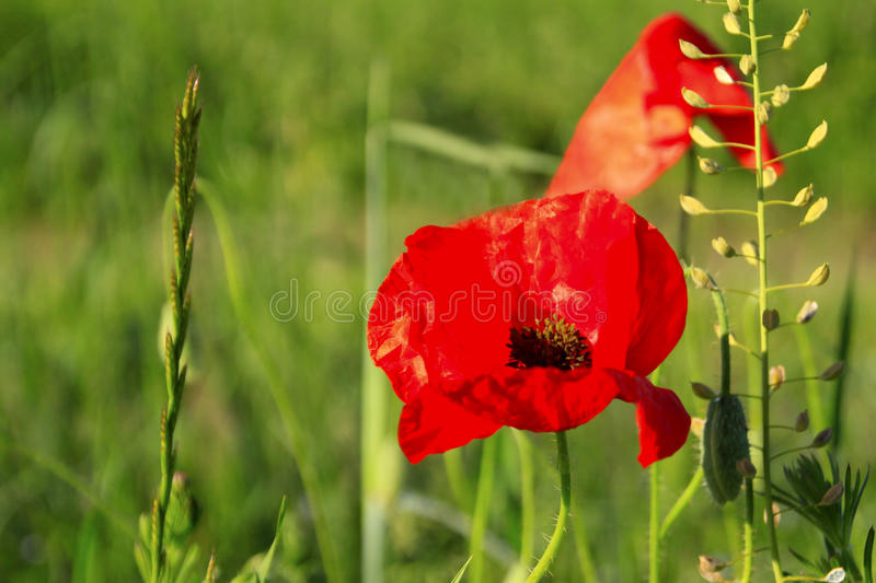 Poppy flowers against a green background royalty free stock image
