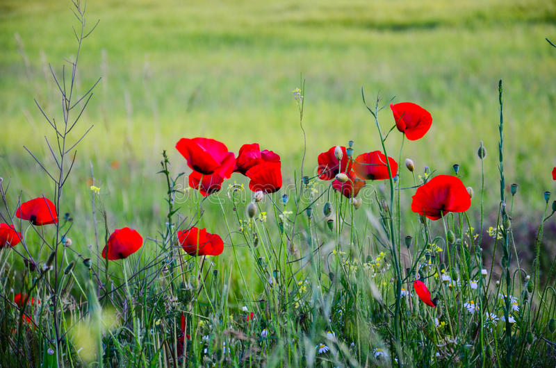 Poppy flowers stock photography