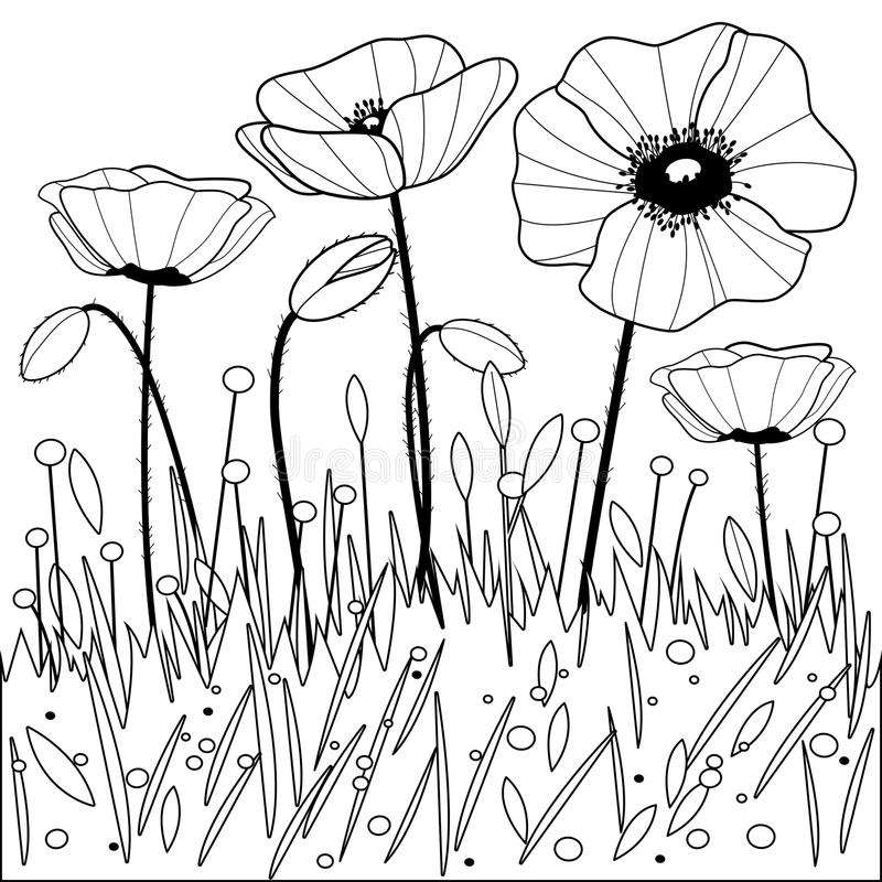 poppy flowers black and white coloring book page stock