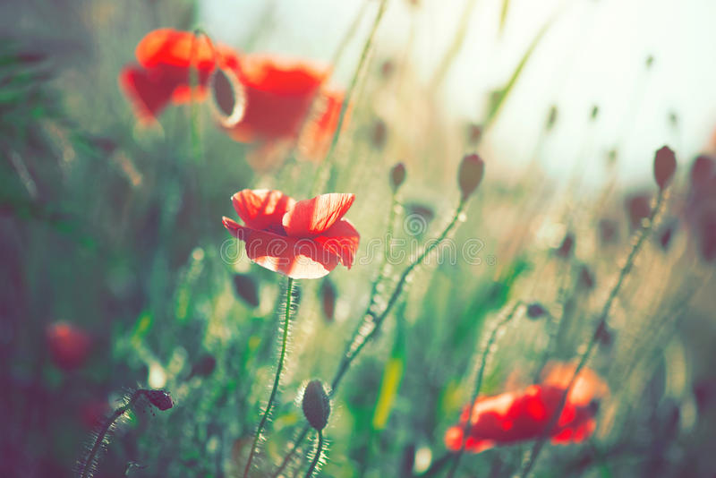 Poppy flowers blooming on the field royalty free stock image