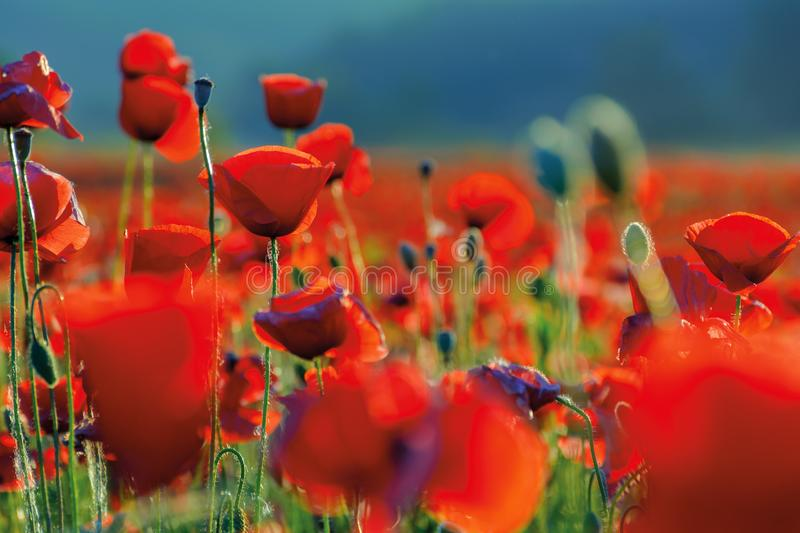 Poppy flowers close up in the field stock photos