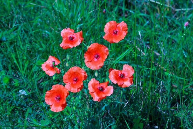 Poppy flowers in dutch river landscape stock photo
