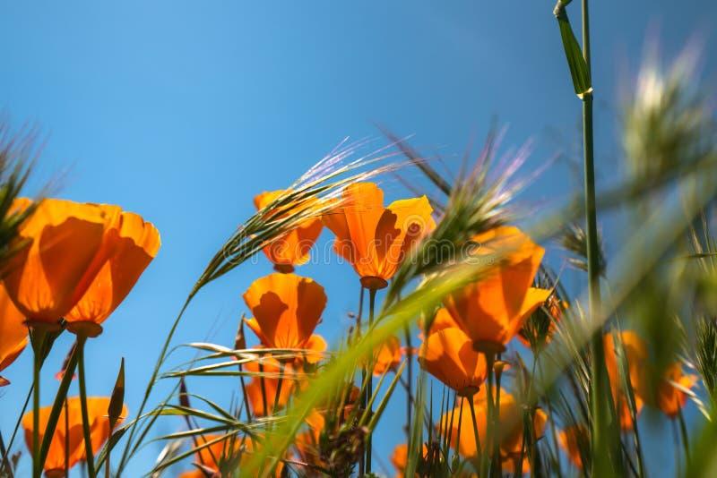 Poppy Flowers, een Bloem van de Staat van Californië royalty-vrije stock fotografie