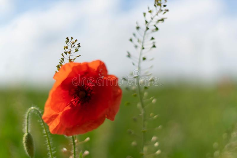 Poppy flowers on the field against the blue sky and green grass. Selective focus. Close bright love natural summer day fresh pink color plant season wild stock photography