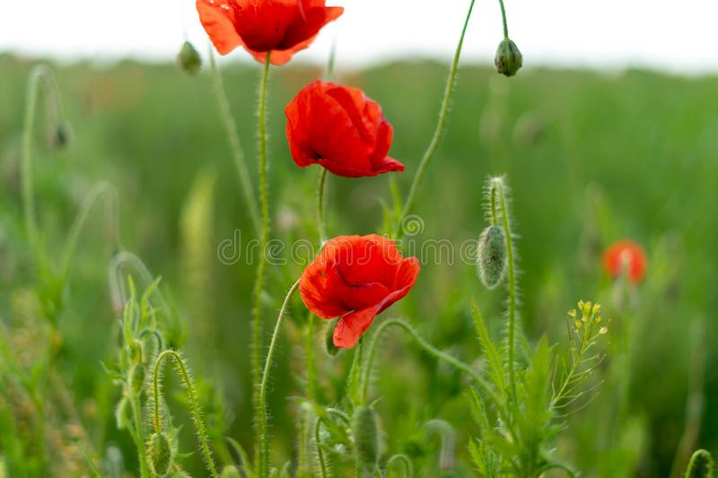 Poppy flowers on the field against the blue sky and green grass. Selective focus. Close bright love natural summer day fresh pink color plant season wild stock photo