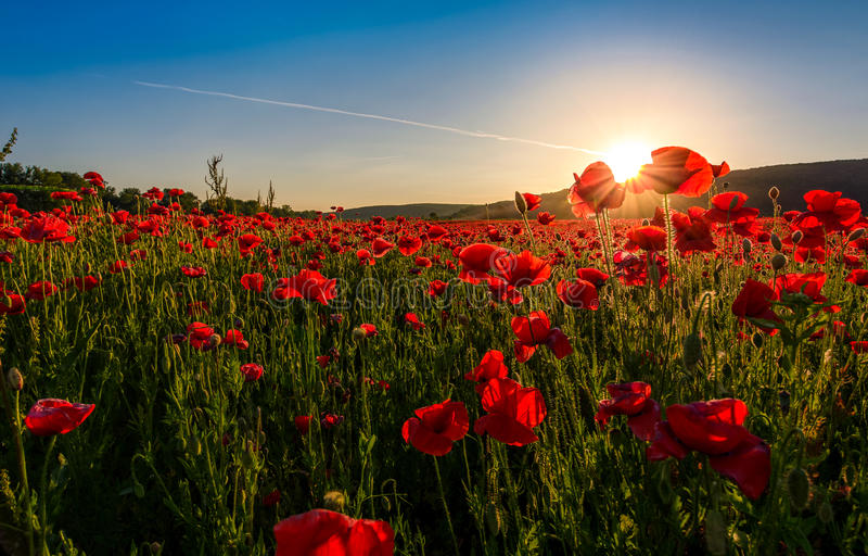Poppy flowers field in mountains royalty free stock photos