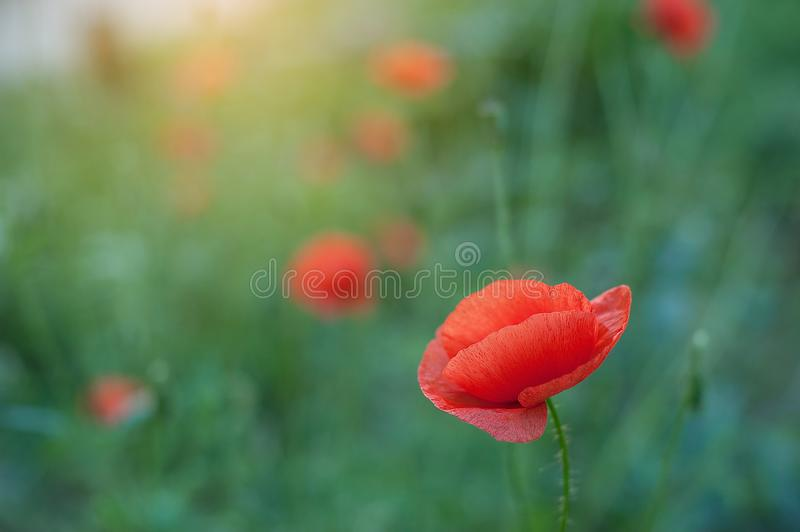 Poppy flowers field nature spring background. Blooming Poppies memory symbol. Armistice or Remembrance day background stock image