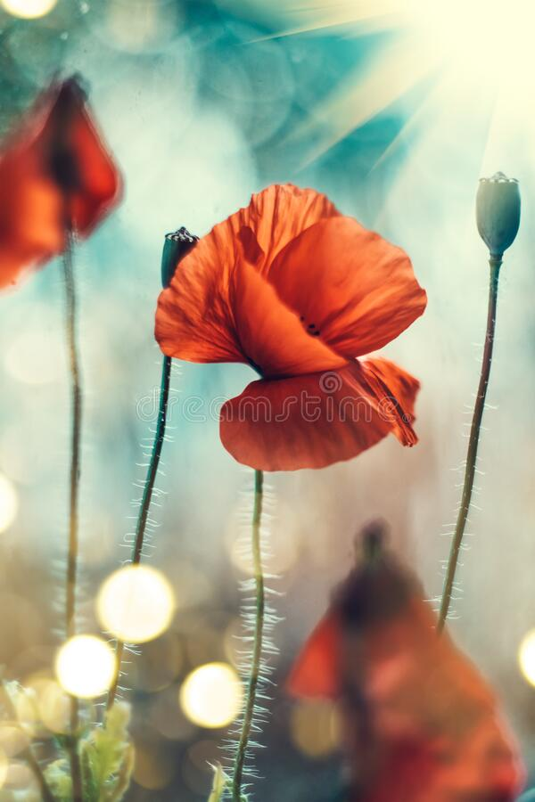 Free Poppy Flowers Field Nature Spring Background. Blooming Poppies Over Blue Sky On Wind. Rural Landscape Royalty Free Stock Photography - 184008927