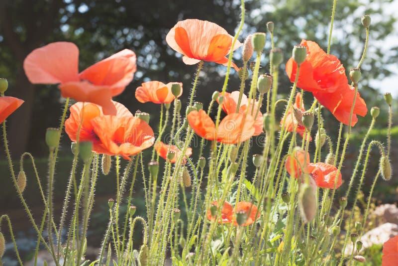Poppy flowers in field stock photo