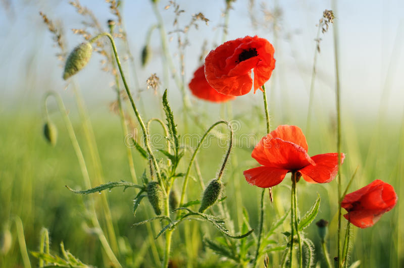 Poppy flowers on field and sunny morning stock photo