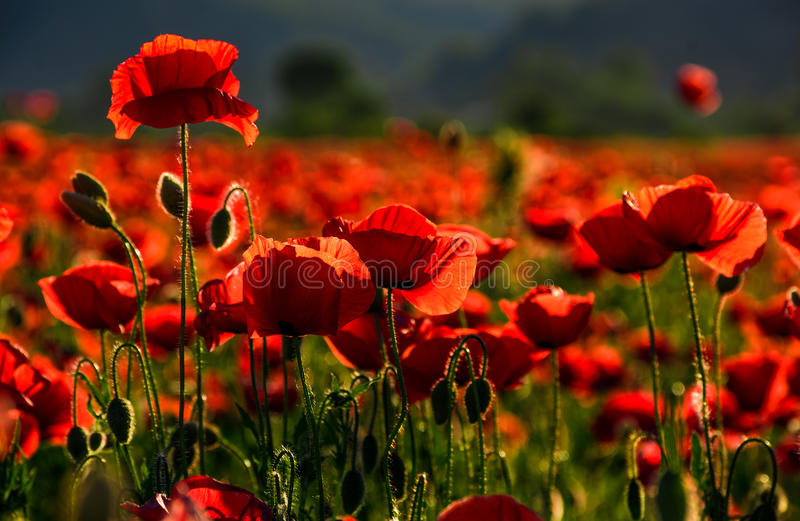 Poppy flowers field at sunset stock photography