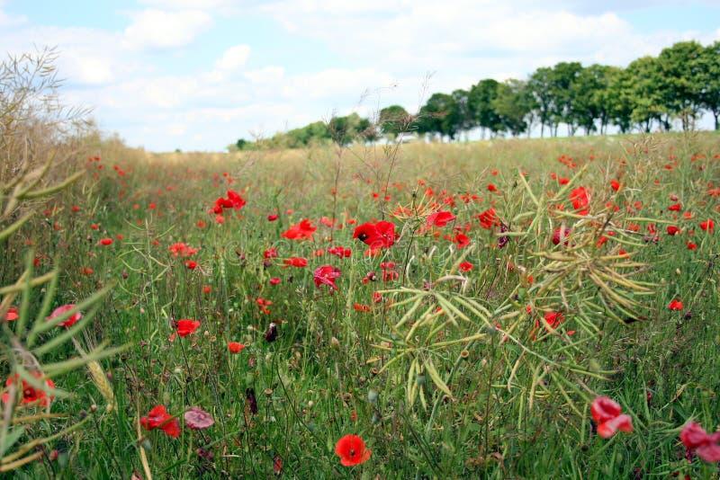 Poppy flowers in the field, Ukraine stock image