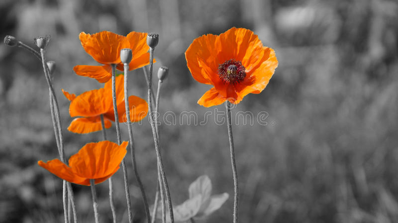 Poppy Flowers. Poppy flower on blurred nature background royalty free stock photography