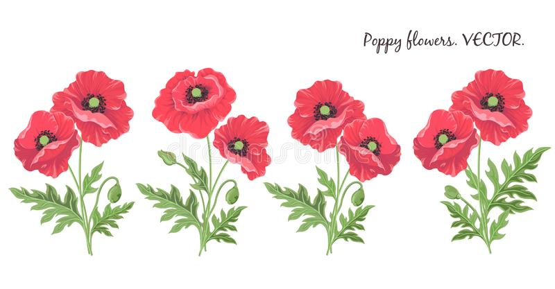 Poppy flowers. Flowering red poppies buds leaves-isolated on white background stock illustration