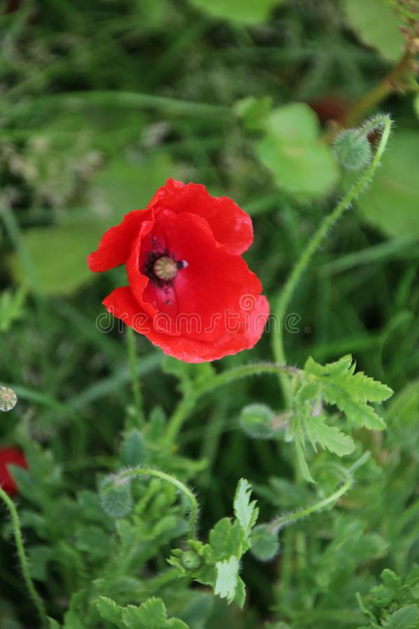 Poppy flowers in red color along the side of the road in the Netherlands.  royalty free stock image