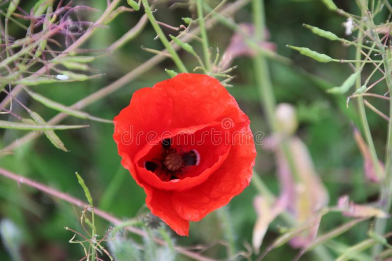 Poppy flowers in red color along the side of the road in the Netherlands.  royalty free stock photography