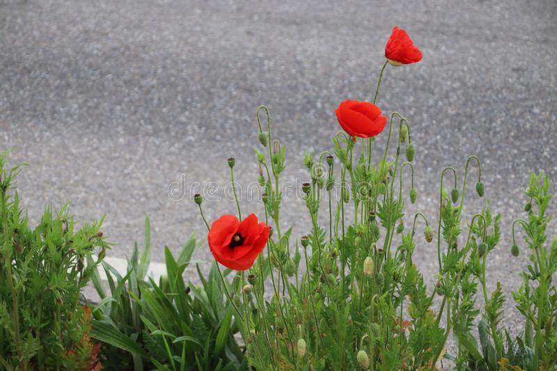 Poppy flowers in red color along the side of the road in the Netherlands.  stock photo